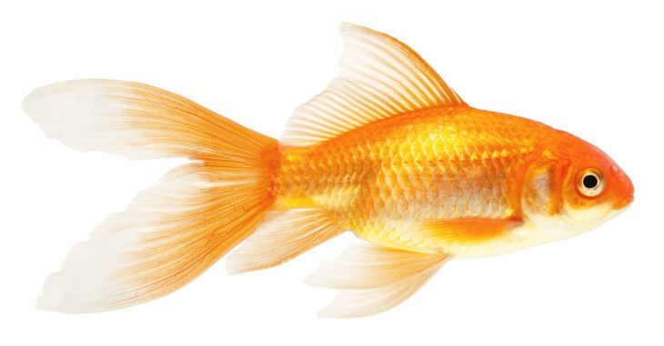 All Types Of Goldfish And How To Easily Tell Them Apart Goldfish Goldfish Types Comet Goldfish