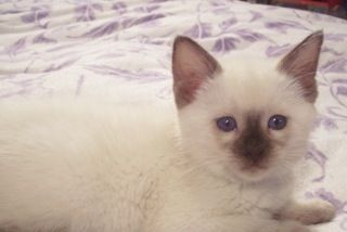 Traditional Siamese Lynx And Balinese Kittens For Sale Balinese Cat Siamese Kittens Kitten For Sale