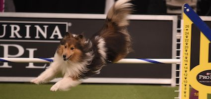Watch Trick Stripe And Mia Run The Agility Course At Westminster