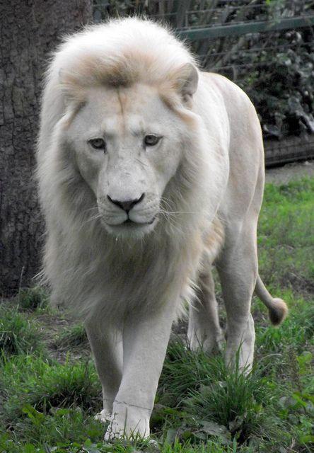 Male White Lion Albino Animals Rare Albino Animals Animals