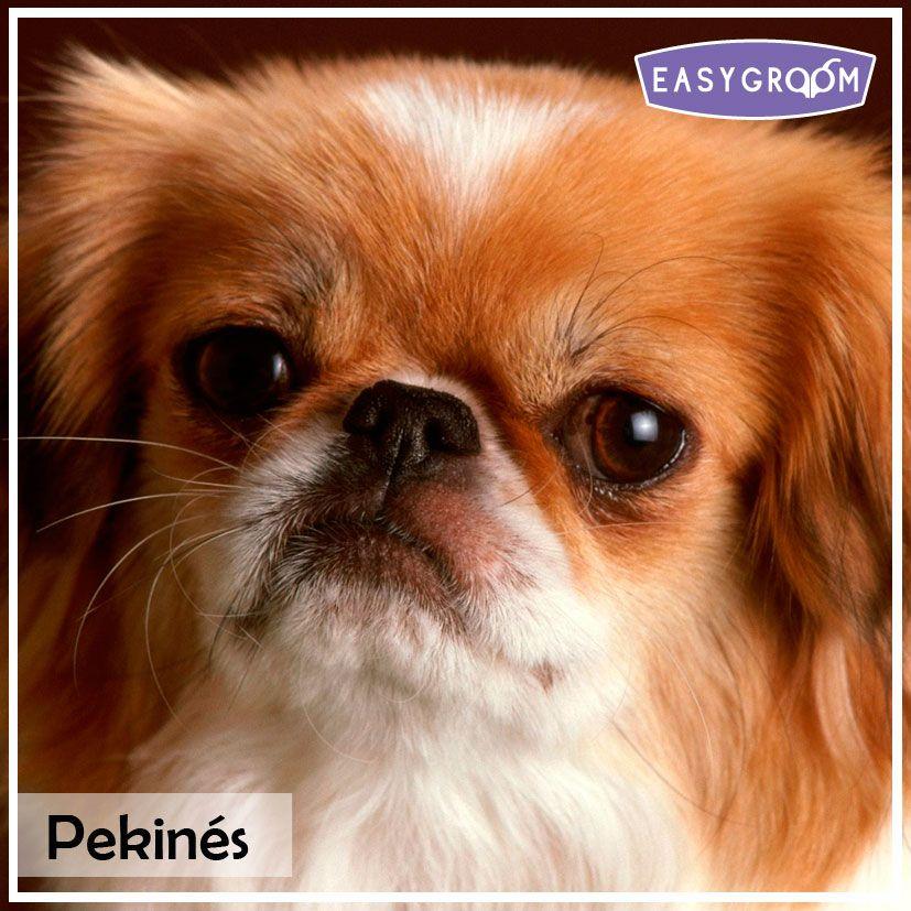 Pekines Minidog Dog Pet Littledog Raza Pequena Perro
