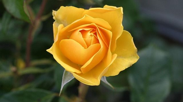 Pruning roses is one of the gardening jobs that come round every year, but there is some controversy as to when is the best time to carry out this task.…