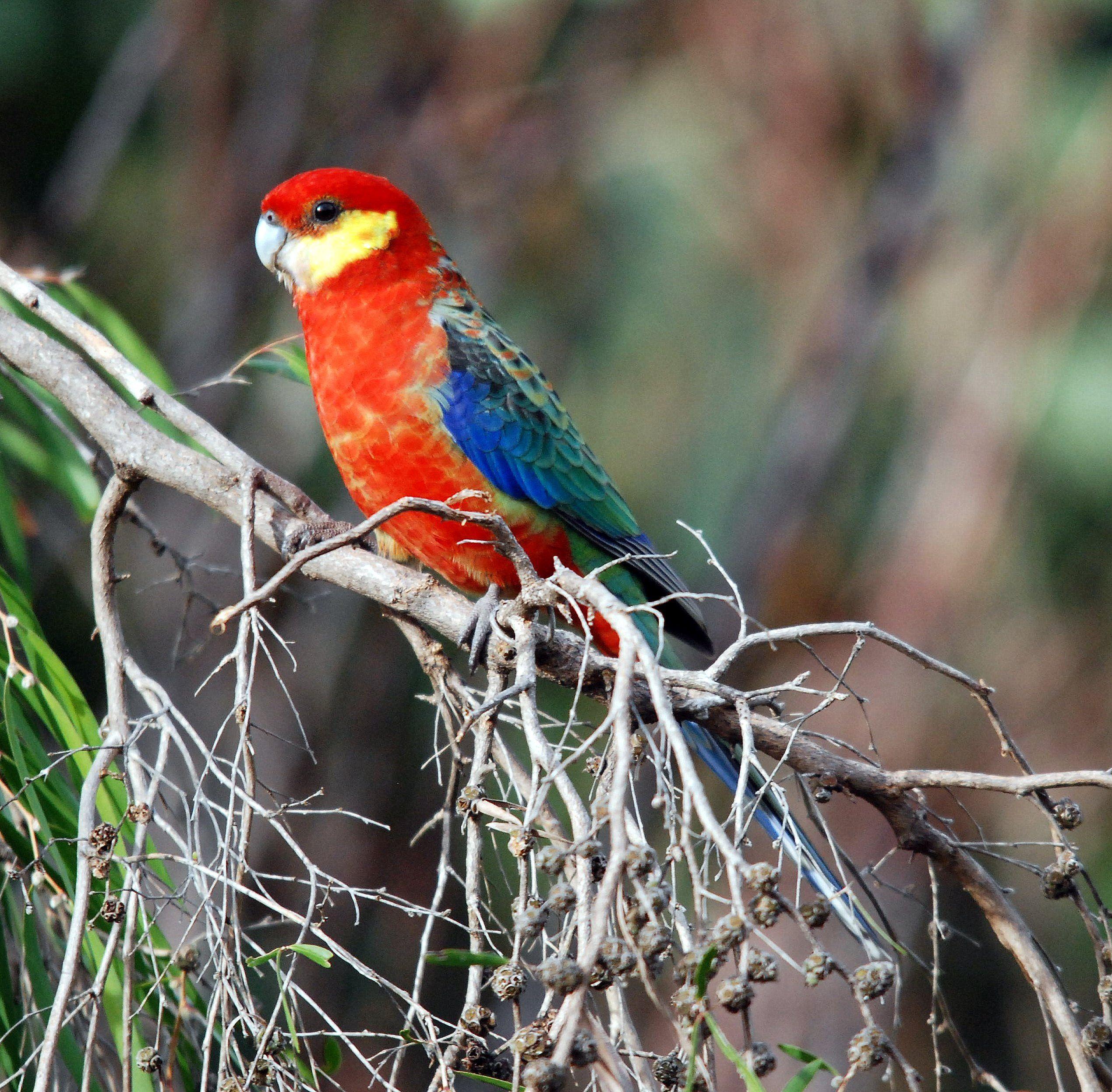 Male Western Rosella Australian Birds Australian Parrots Birds