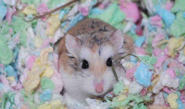 Turbo Is A Speedy Little 2 Year Old Robo Dwarf Hamster He Is