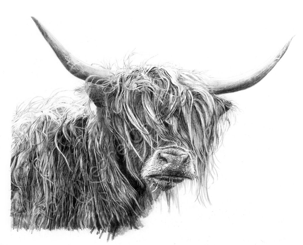 Line Drawing Yak : Art pictures of highland cattle google search