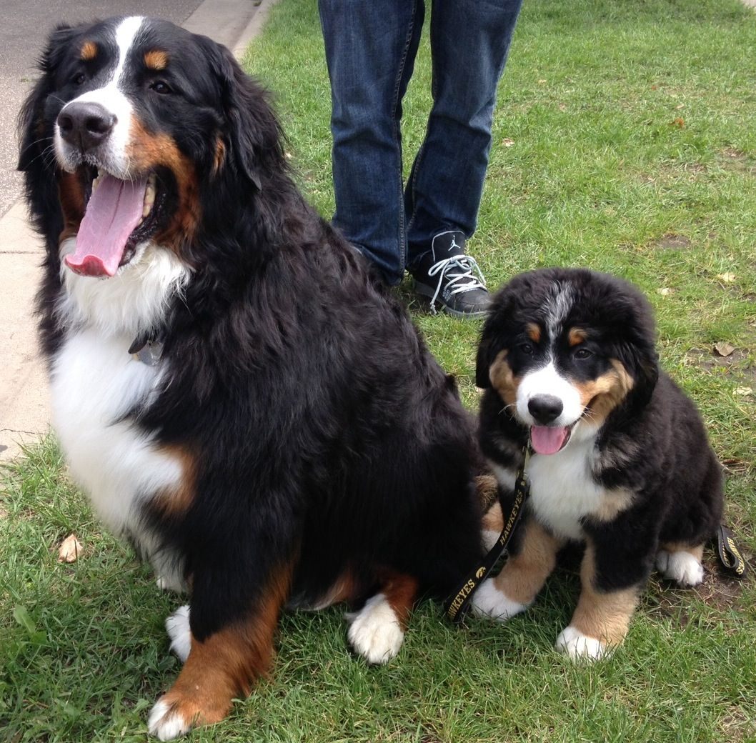 Jazmine Met Grizzly For The First Time Today At Pet A Palooza These Bernese Mountain Dogs Were Just Two Of The Hundreds O Bermese Mountain Dog Bernese Mountain Dogs