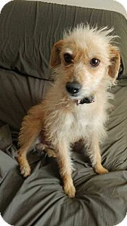 Chandler Az Australian Terrier Irish Terrier Mix Meet Shelton