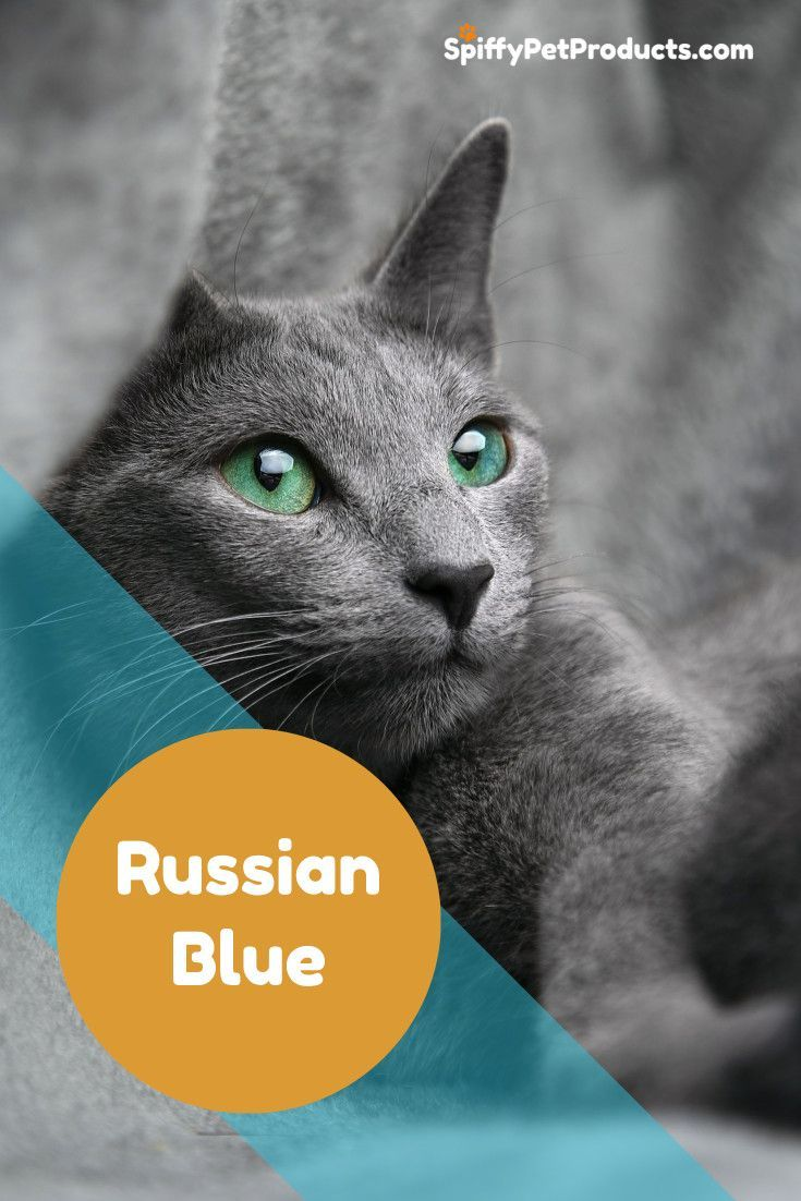 Which Cats Are Hypoallergenic? Russian blue, Cat