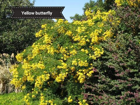Yellow Butterfly Bush Plants Plant Images Native Plants