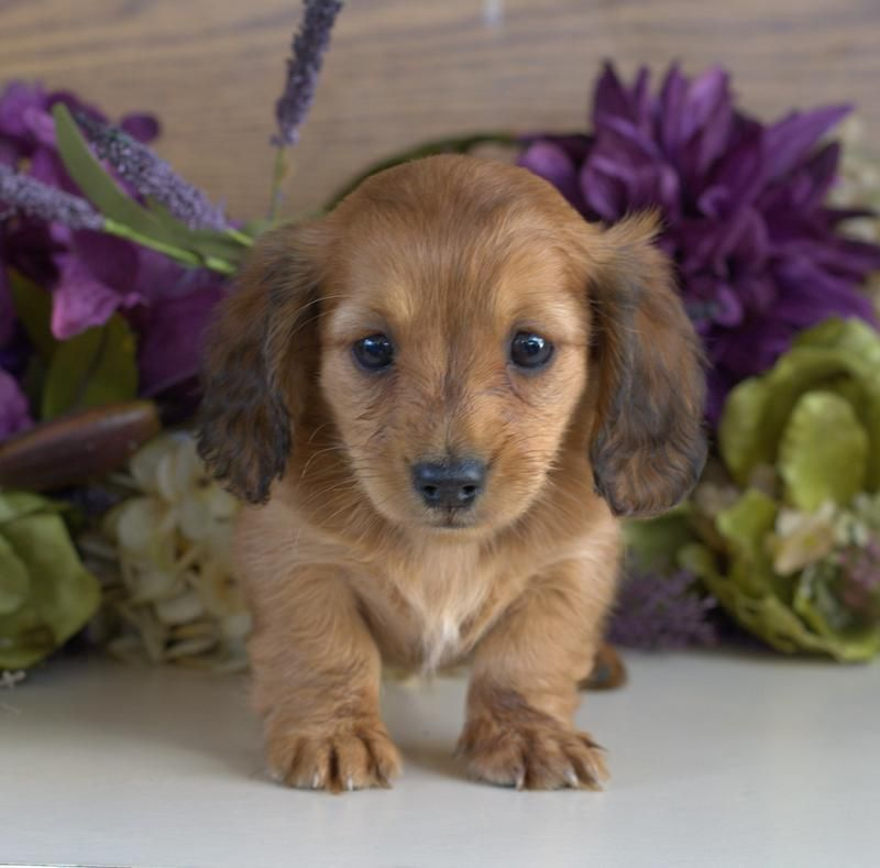 Dachshund Puppies For Sale & Miniature Puppy Down Home