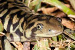 state symbol kansas state amphibian barred tiger salamander