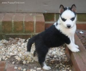 Black And White Short Haired Husky Puppies Hunderaser