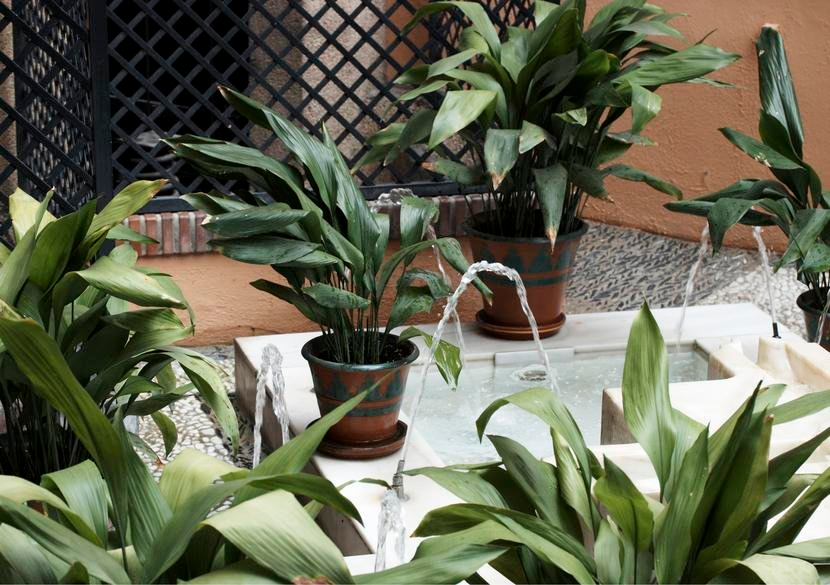 Die Schusterpalme Gilt Als Eisenpflanze Anspruchslos Und Unverwustlich Hi In 2020 Pflanzen Blattpflanzen Topfgarten