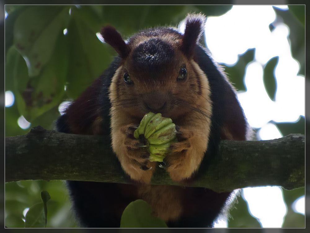 Madras Ramblings: Nelliyampathy - a mammalian photo essay