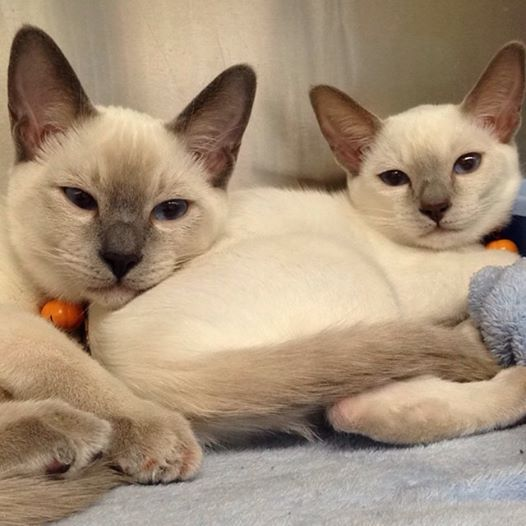 Siamese Babies Cats And Kittens Pretty Cats Kittens Cutest