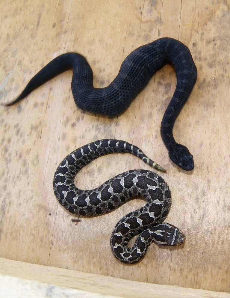 View Topic 2013 In Fl Oh Az Ca And Belize Water Moccasin Snake Reptile Snakes Rat Snake