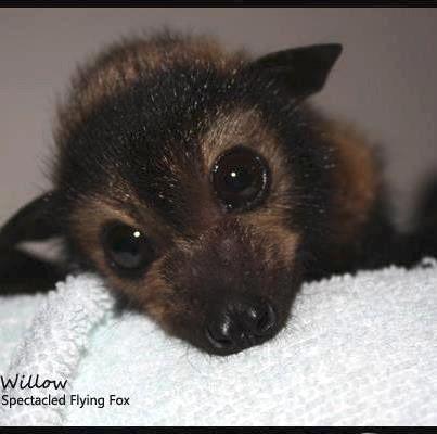 Queensland Kills Threatened Bats In 2020 With Images Fox Bat Cute Bat Animals Beautiful