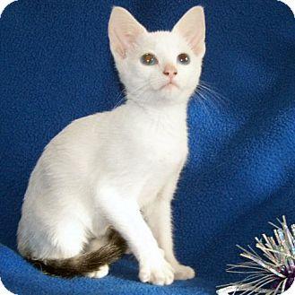 Rocky Hill Ct Siamese Meet Spirit A Kitten For Adoption Cute Cats Cute Animals Pets