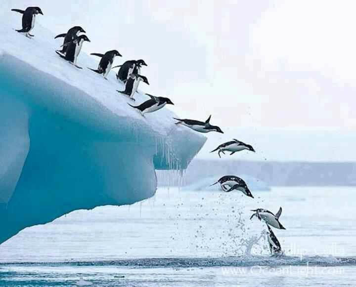 Penguins taking a plunge in Antarctica