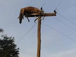 Uma semana depois, a vaca que foi parar em cima de um poste após a cheia do Rio Uruguai, no interior de São Borja, na Fronteira Oeste do Rio Grande do Sul, continua no mesmo lugar. Com dificuldade de chegar ao local, o proprietário do terreno onde se encontra o poste de 11 metros de altura diz que não tem como retirar o animal.