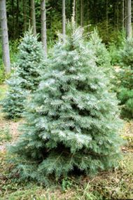 1000+ images about CT Grown Christmas Trees on Pinterest ...