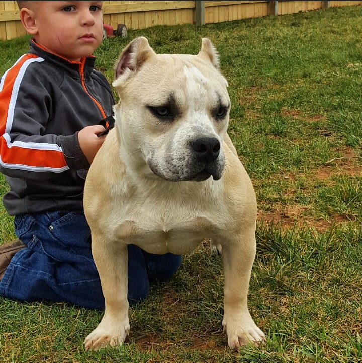 American bully full house kennels in nc American bully