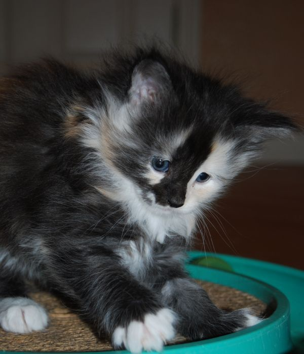 images of maine coon cats alaska a black smoke tortie