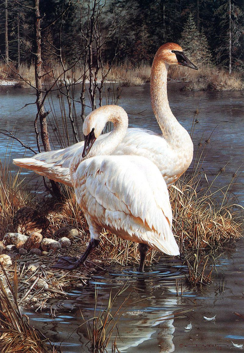 Swans - Art Of Carl Brenders Wildlife Paintings