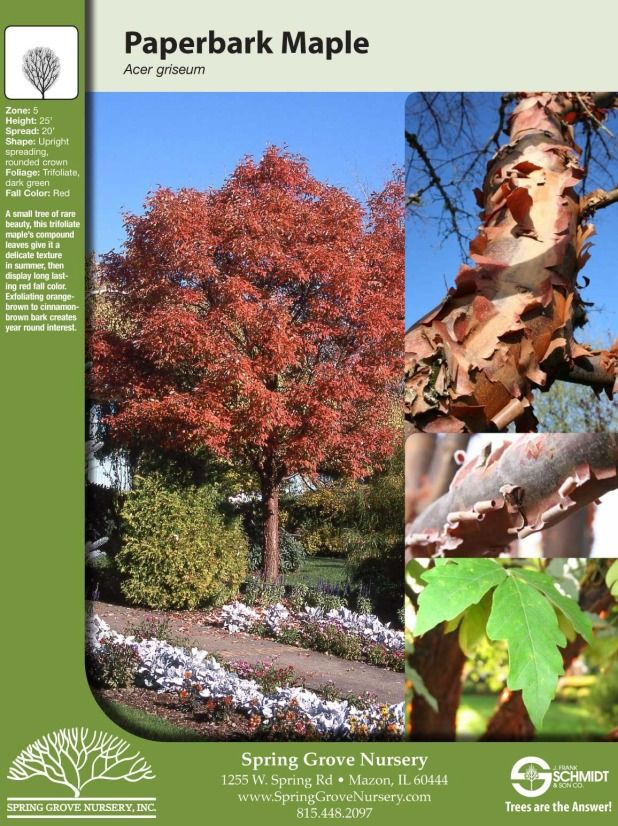 Paperbark Maple Tree Facts Jpg