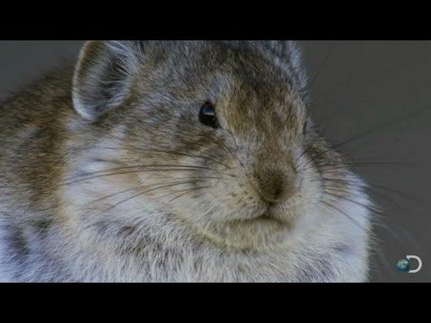 Cute Pika Devours Bird Brains | North America - YouTube