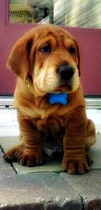 Ba Shar Pup Shar Pei Basset Hound Cute Cute Animals