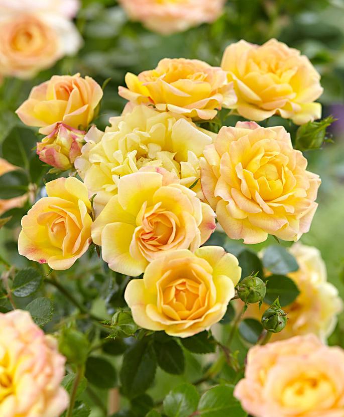 Flowers Fiori