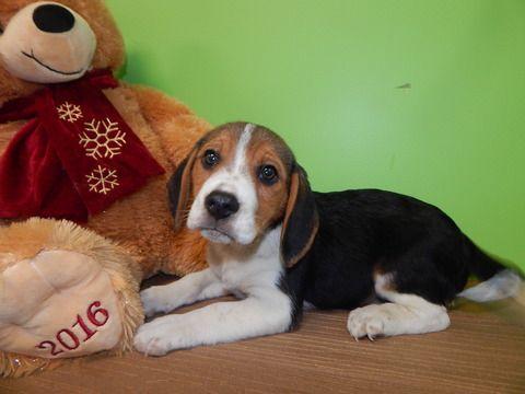 Beagle Puppy For Sale In Hammond In Adn 22022 On Puppyfinder Com