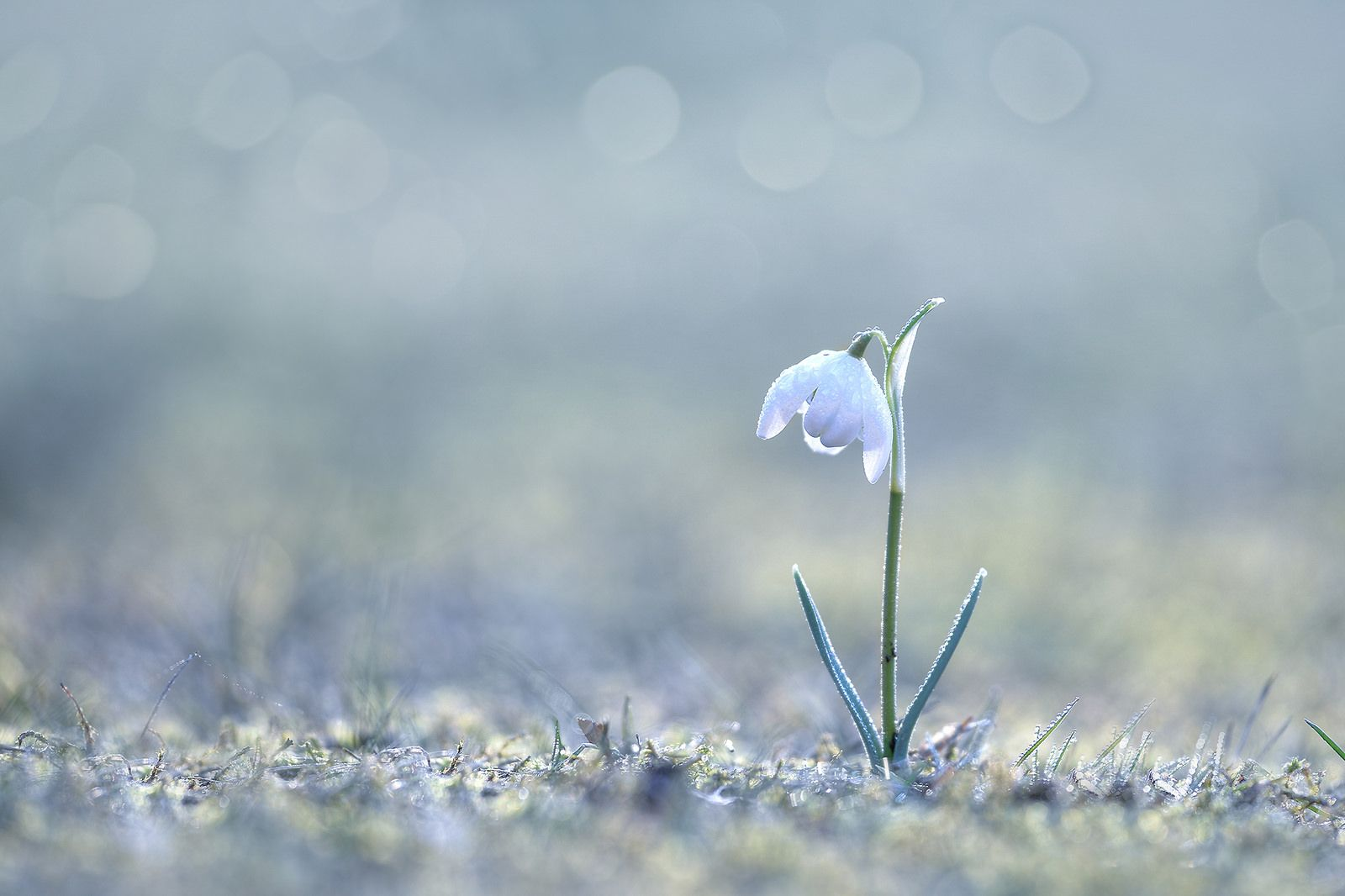 snowdrops Flowers Macro Wallpapers HD Desktop and Mobile