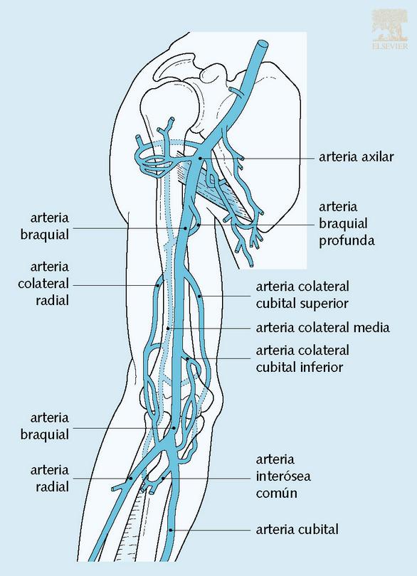 Arteria braquial y sus ramas | Quién eres? | Pinterest | Ramas ...