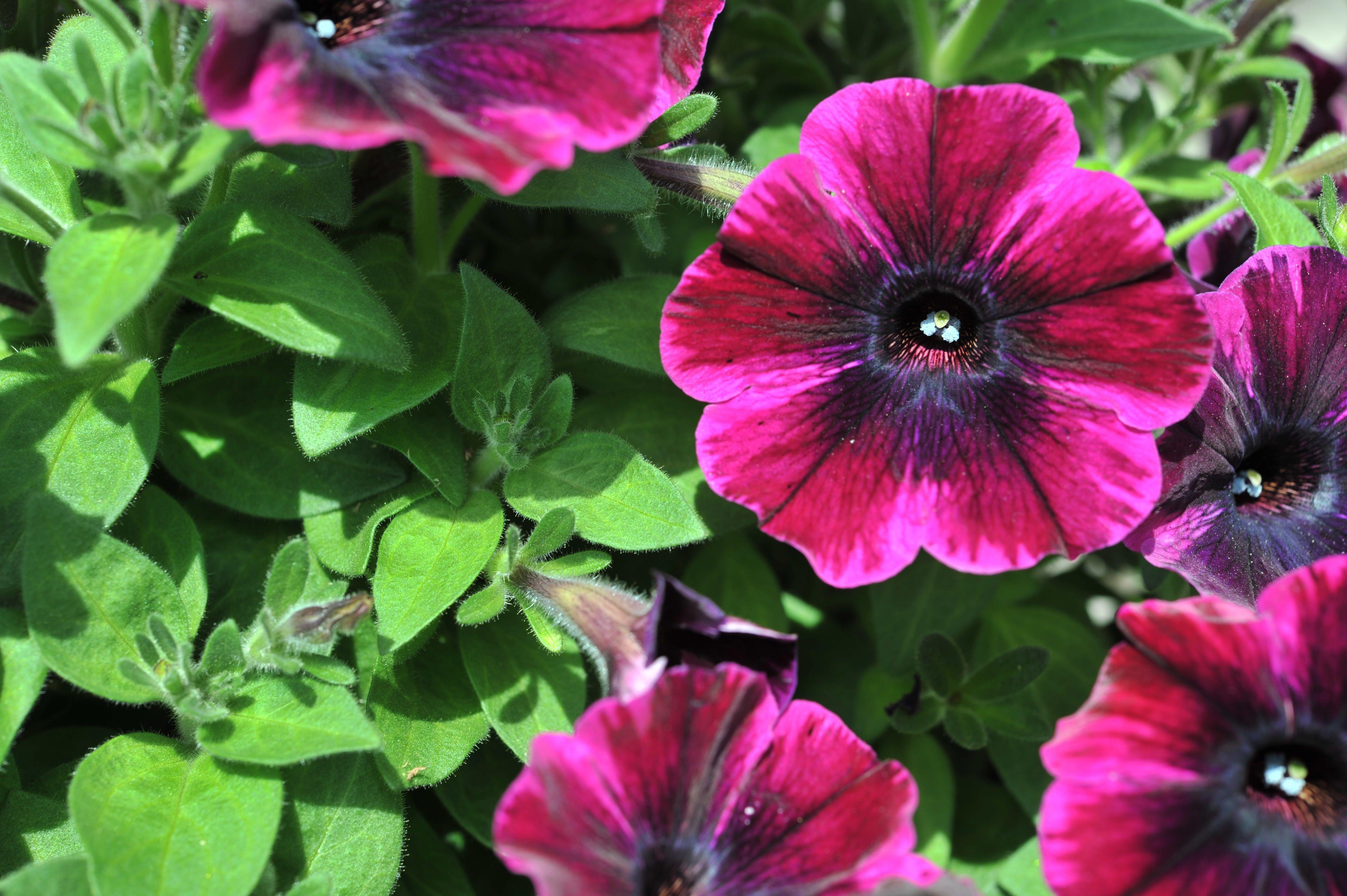Diggys Adventure Petunias Flower
