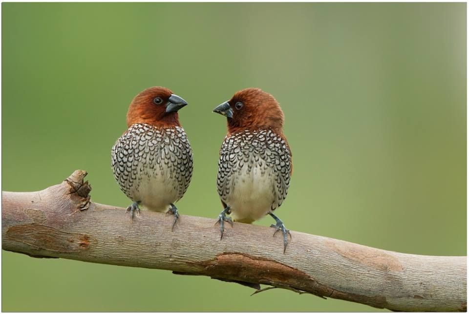 Scaly breasted munia | Lonchura punctulata | Taken @ Bangalore | Jul -2014 | Copyright : AV Fotography