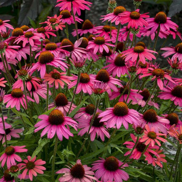 Echinacea Glowing Dream Purple Coneflower To Hide Spent Tulips Plant The Seeds In The Spring In Humus Rich Well Planting Tulips Echinacea Beautiful Blooms