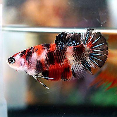 Betta Female Fancy Multi Color Koi Sanke Perfect Top View Pattern Live Aquarium Fish Betta Fish Fish