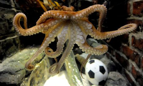 Sucker For Soccer Octopus Predicts World Cup Finalist