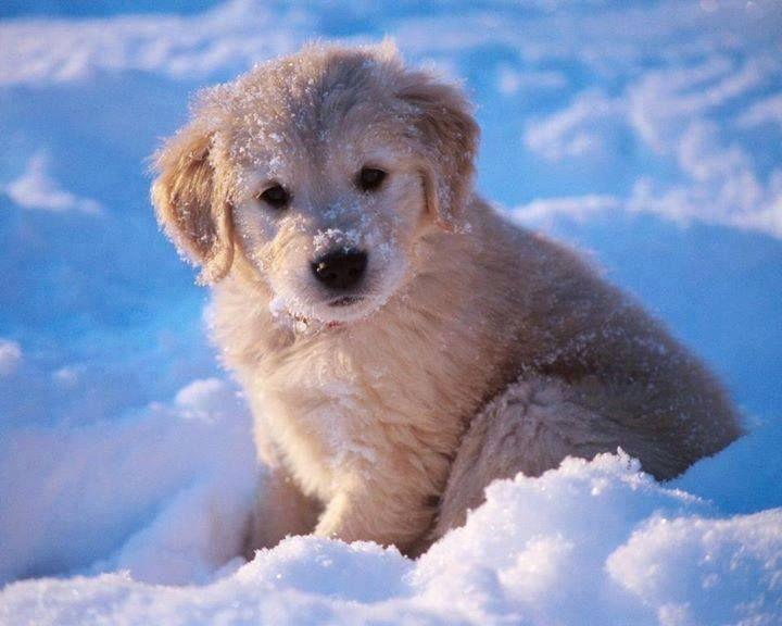 In De Sneeuw Retriever Puppy Puppies
