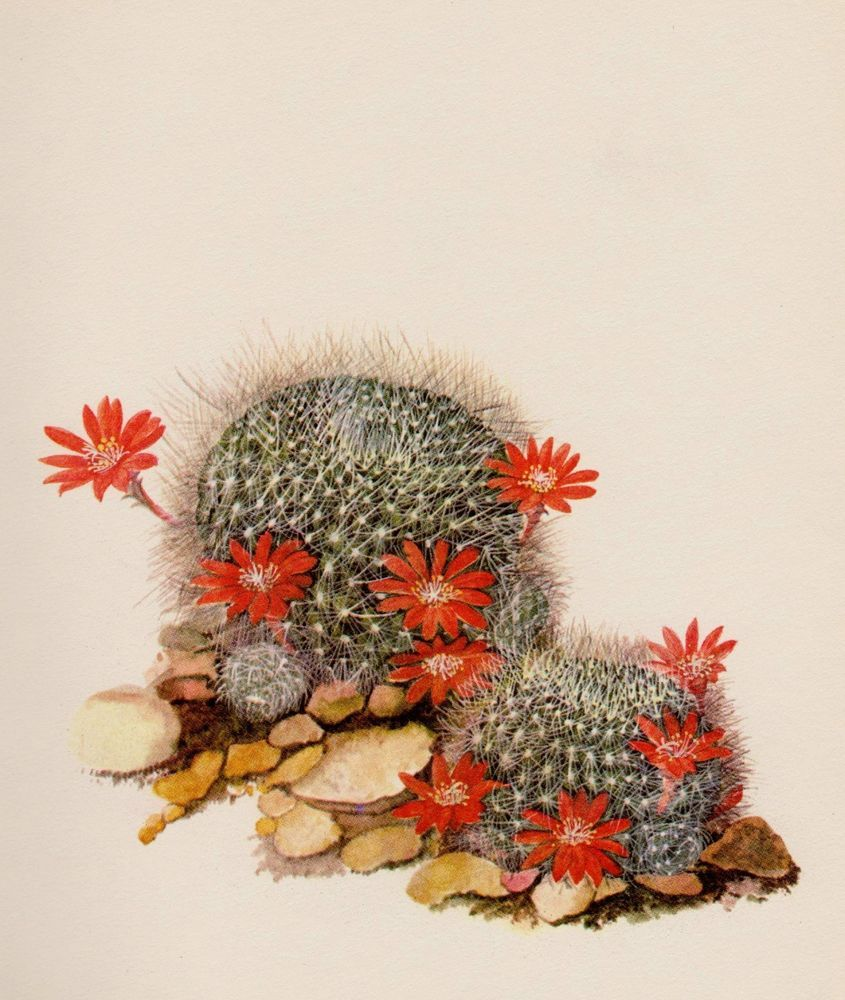Cactus Print Vintage Botanical Print Beautiful Art Red Crown Cactus ...
