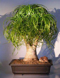 Pony Tail Palm Bonsai Tree Beaucamea Recurvata Bonsai Tree Bonsai Plants Indoor Bonsai Tree