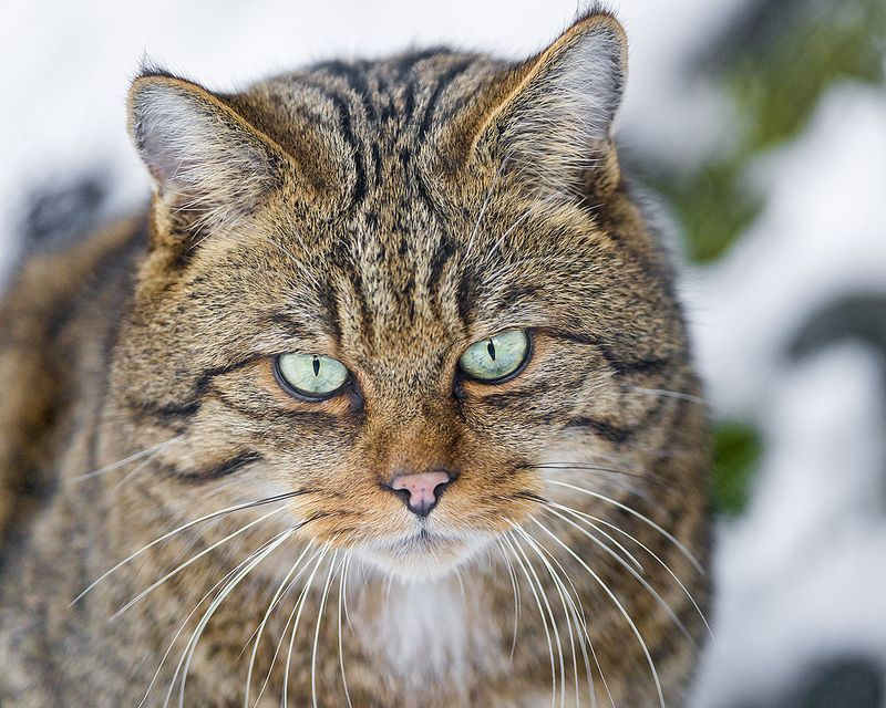 Wild cat looking a bit mean Cats, Dog cat, Small wild cats