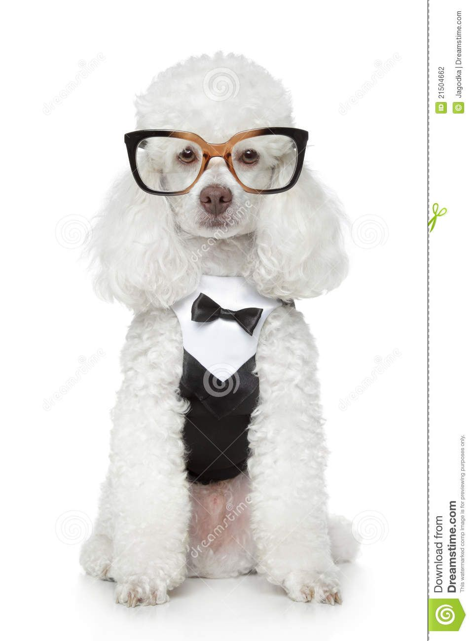 Funny Toy Poodle In A Tuxedo And Glasses Toy Poodle White Toy Poodle Poodle