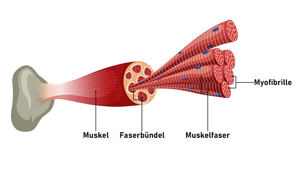 Aufbau Deiner Muskeln Muskeln Krafttraining Muskelaufbau