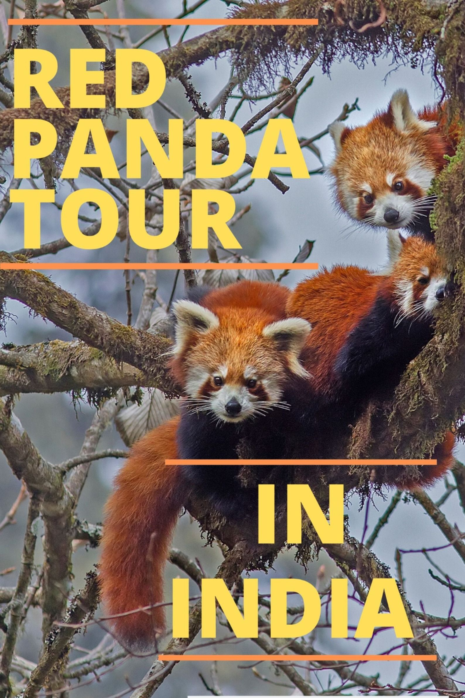 Introducing the Red Panda and Where to find it in India