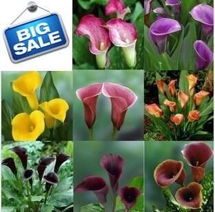 2pcs Calla Lily Root Lilies Perennial Gardening Summer Flower Bulbs Beutiful