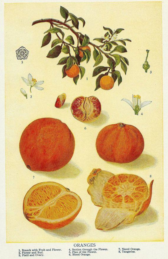 Vintage Orange Botanical Illustration Art