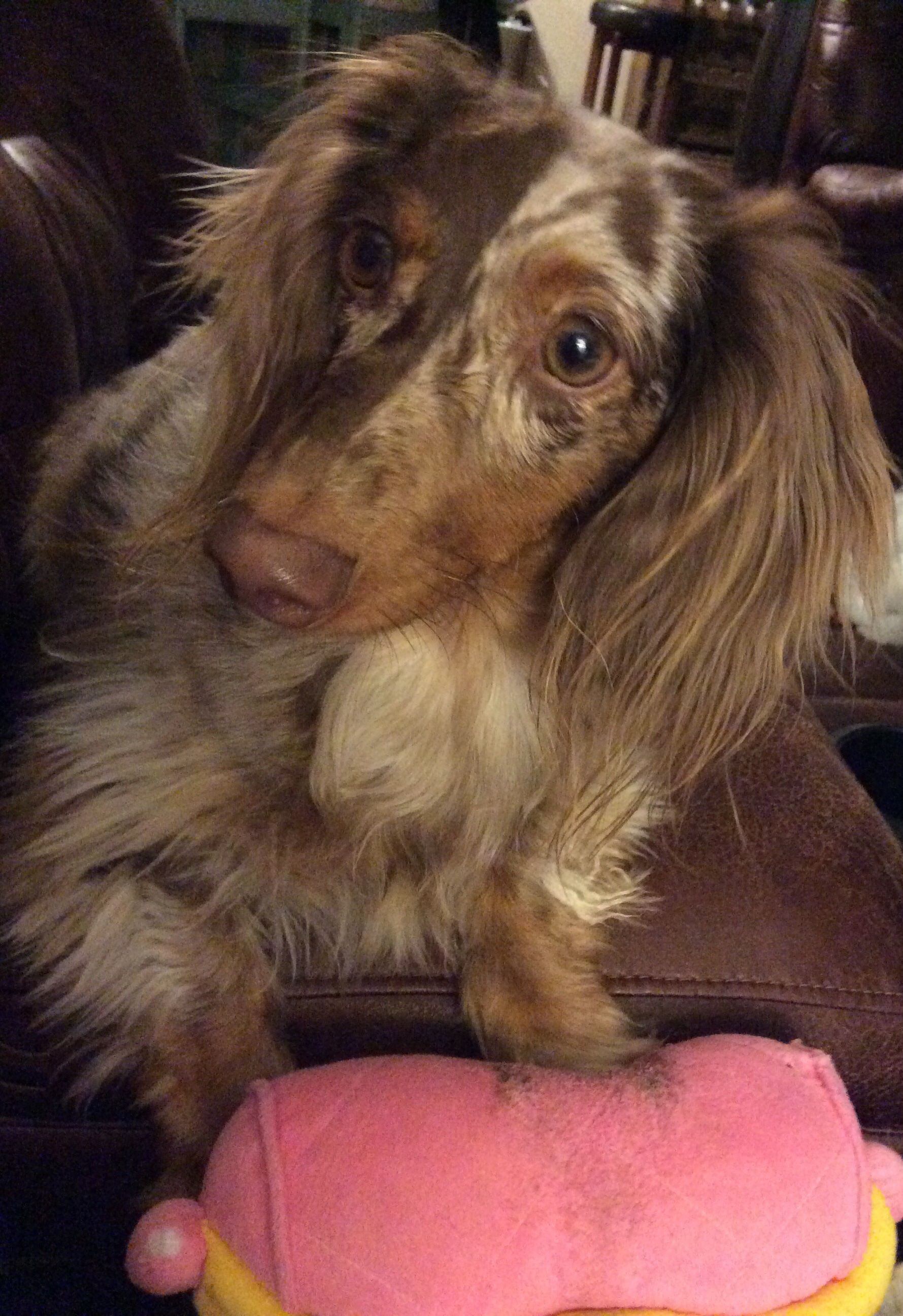Cooper, the long haired chocolate dapple dachshund, and